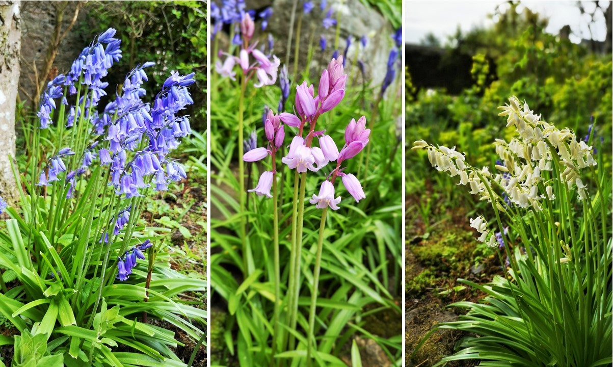 Blue_pink_and_white_Bluebells