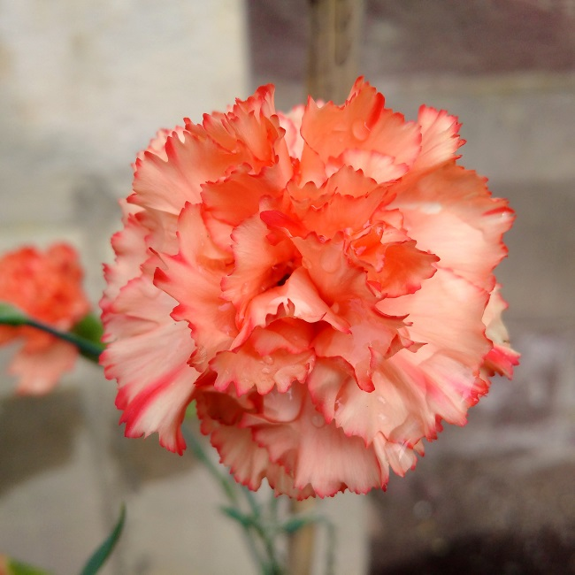 Close-up_on_deep_peach_and_red_carnation