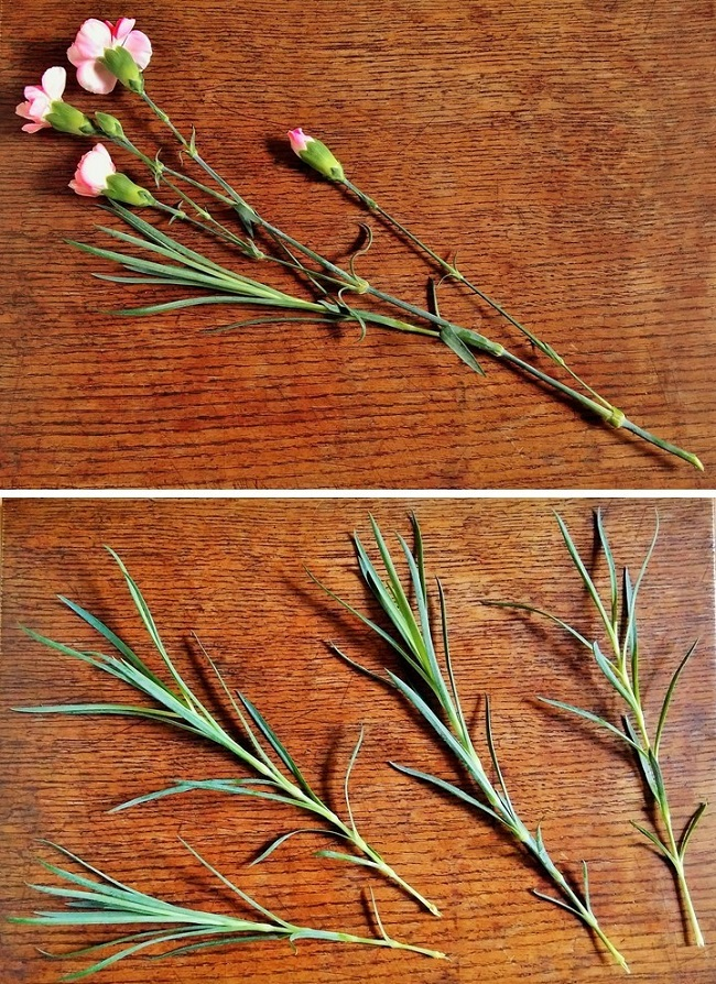 Making_carnation_cuttings