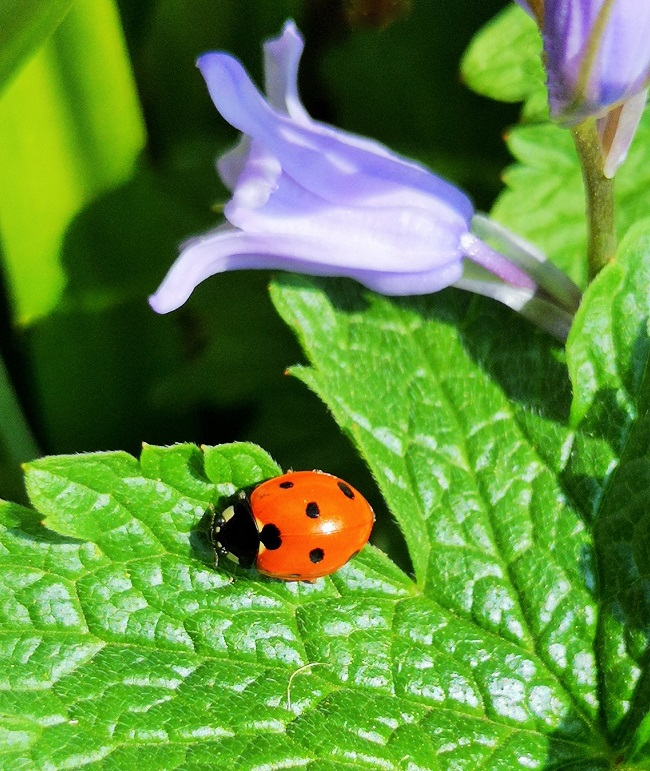 Ladybird_in_sunshine_on_a_geranium_leaf