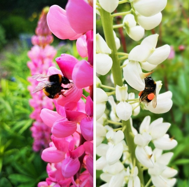 Lupin_flower_stems_with_bees_collecting_pollen
