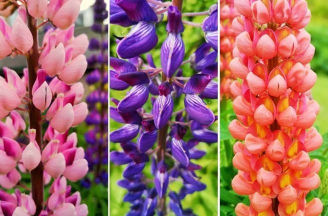 Pink_violet_and_orange_lupin_flower_stems_close_up