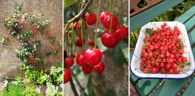 Espalier_Morello_cherry_tree_and_freshly_picked_Morello_cherries