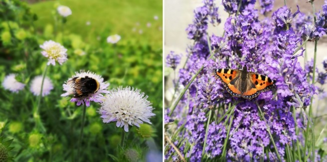 Bumblebee_on_Scabious_flower_and_Painted_Lady_butterfly_on_lavender