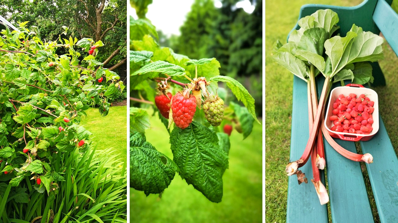 Scottish_raspberries_growing_in_a_garden_and_a_dish_of_freshly_picked_berries_with_rhubarb