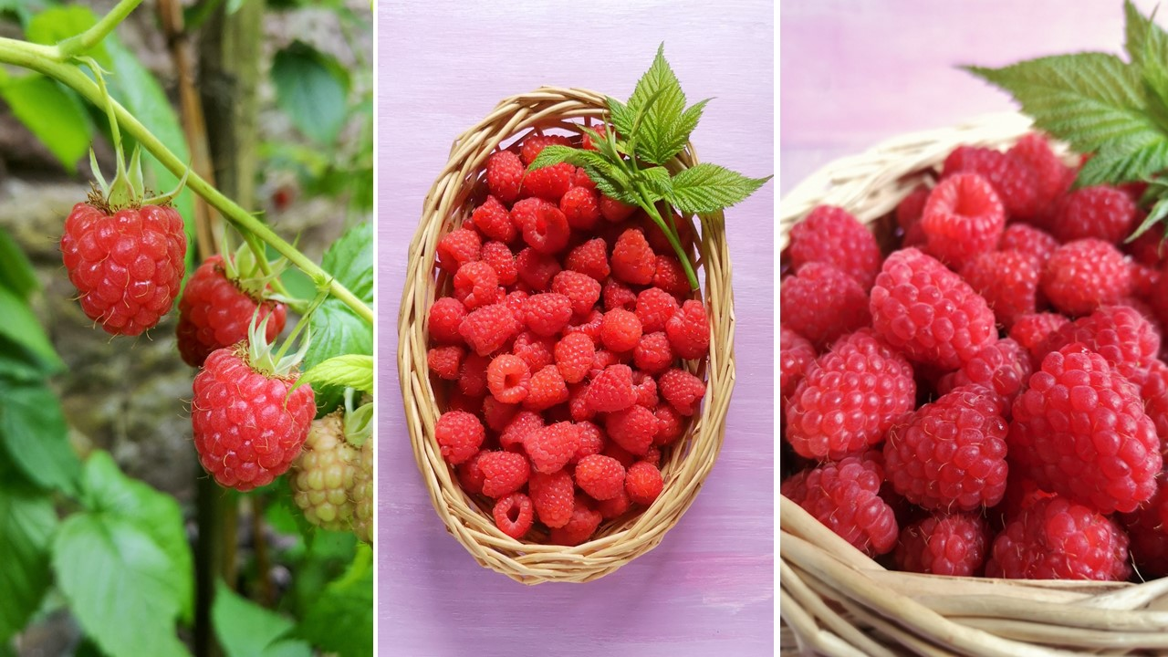 End_of_season_Scottish_raspberries_growing_and_harvested