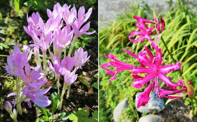 A_group_of_Autumn_Crocus_and_a_deep_pink_Nerine