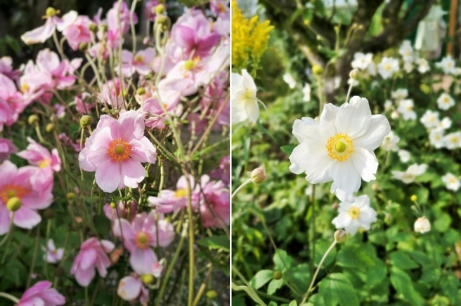 Images_of_pink_and_white_Japanese_anemones