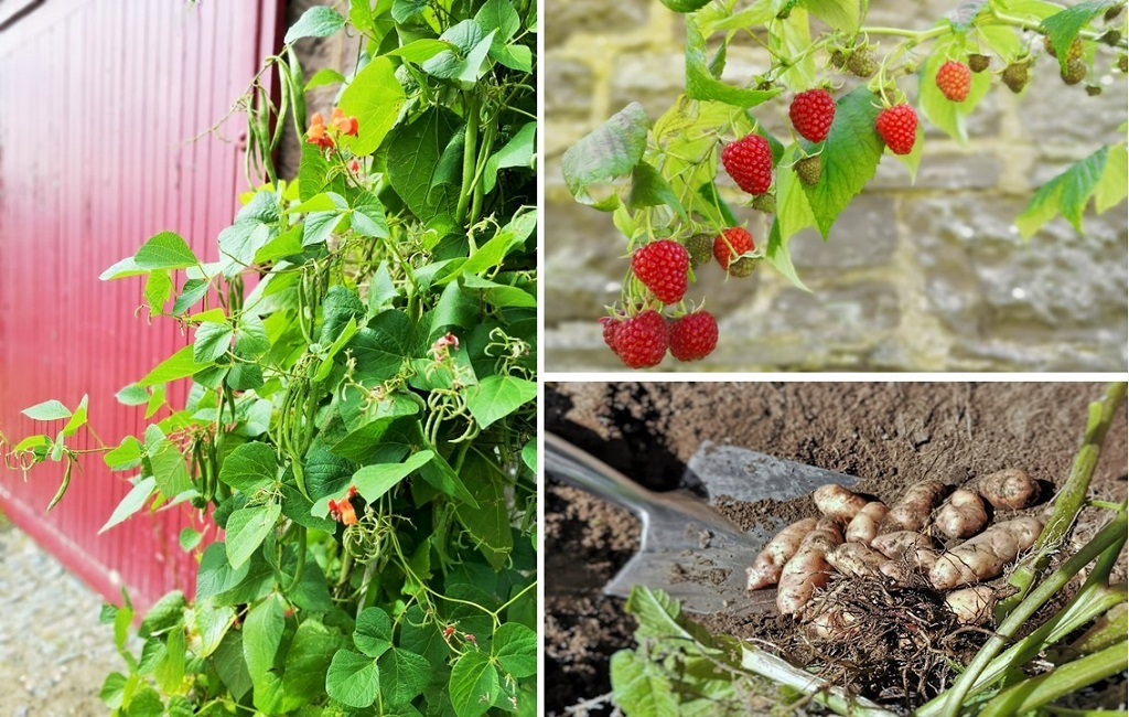 Runner_beans_growing_a_branch_of_Autumn_raspberries_and_freshly_dug_Pink_Fir_potatoes