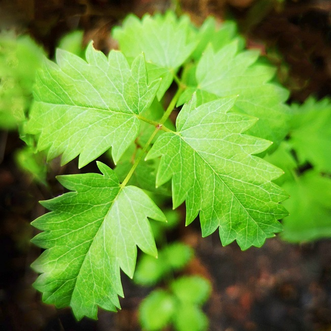 Close-up_view_of_salad_burnet_leaves