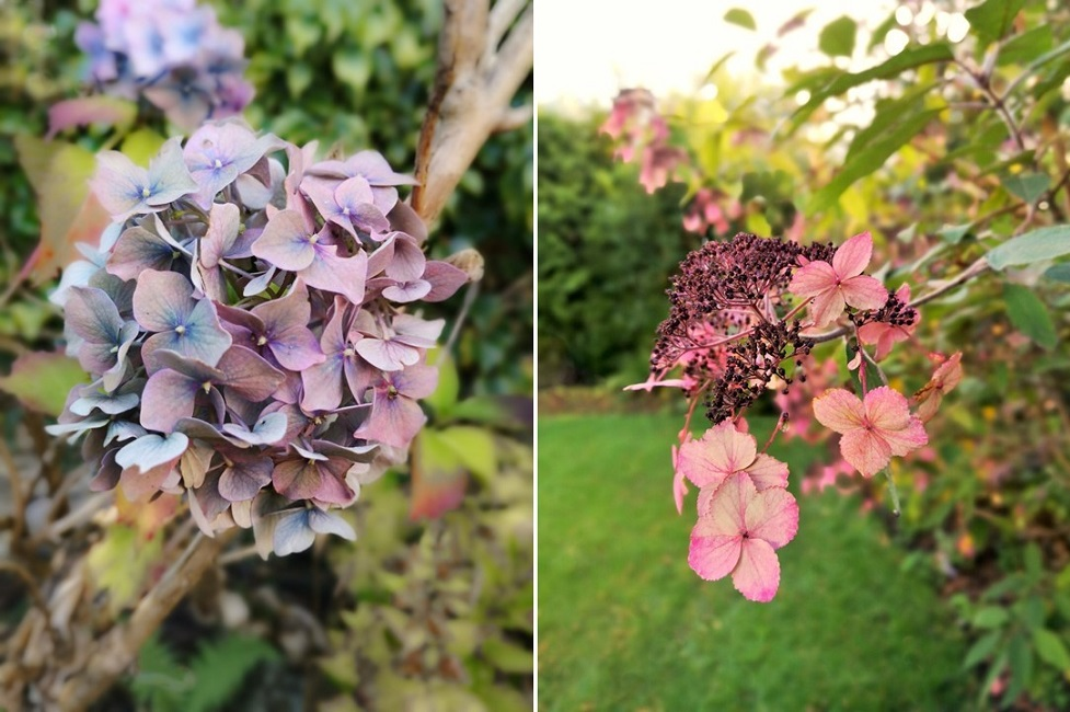 Fading_blooms_of_blue_and_pink_Hydrangea_bushes