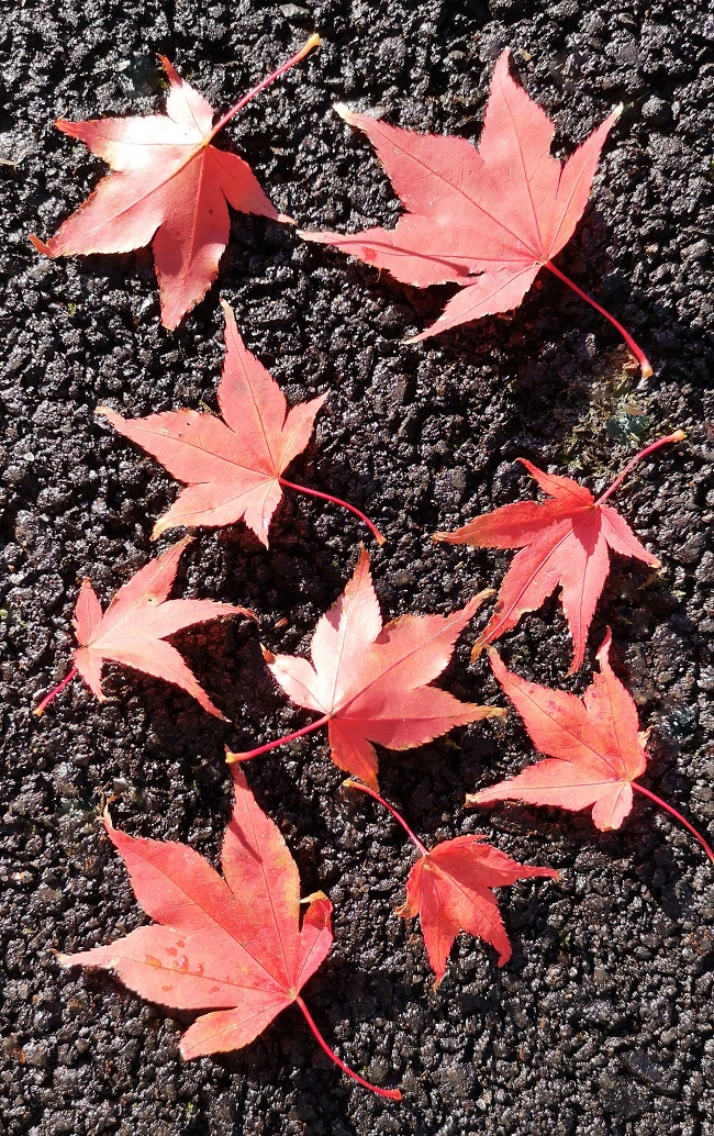 Red_leaves_of_Japanese_maple_tree_on_ground