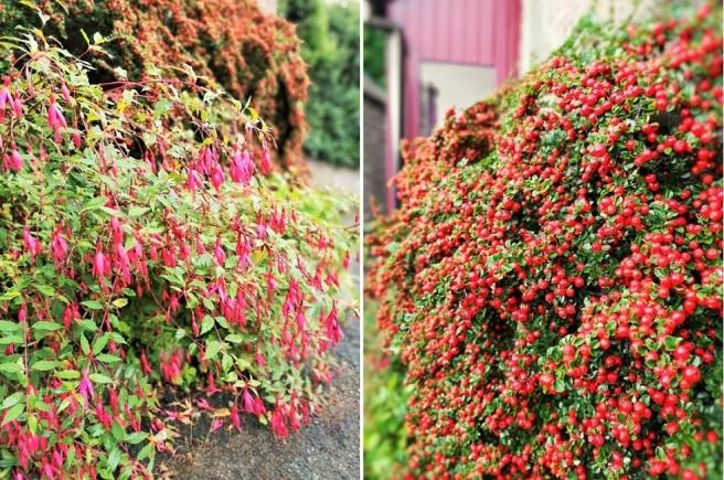 Autumn_colours_of_Fuschia_and_Cotoneaster