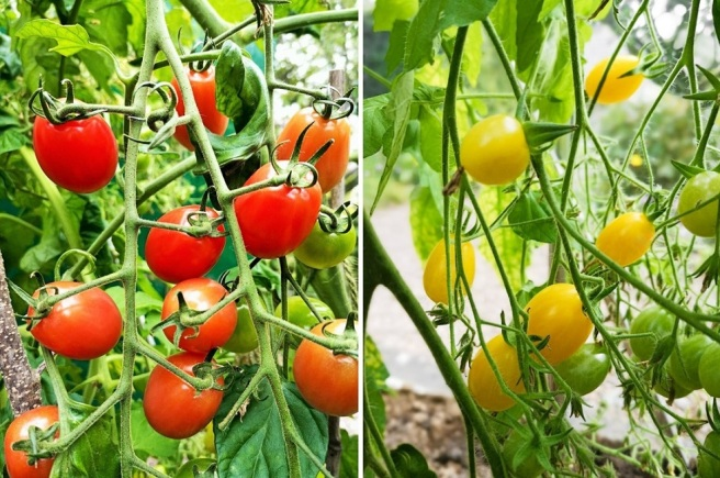 Greenhouse_grown_early_October_tomatoes_on_the_vine