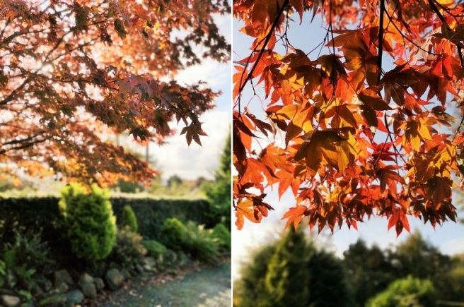 Golden_leaves_of_Japanese_maple_in_Autumn_under_a_blue_sky