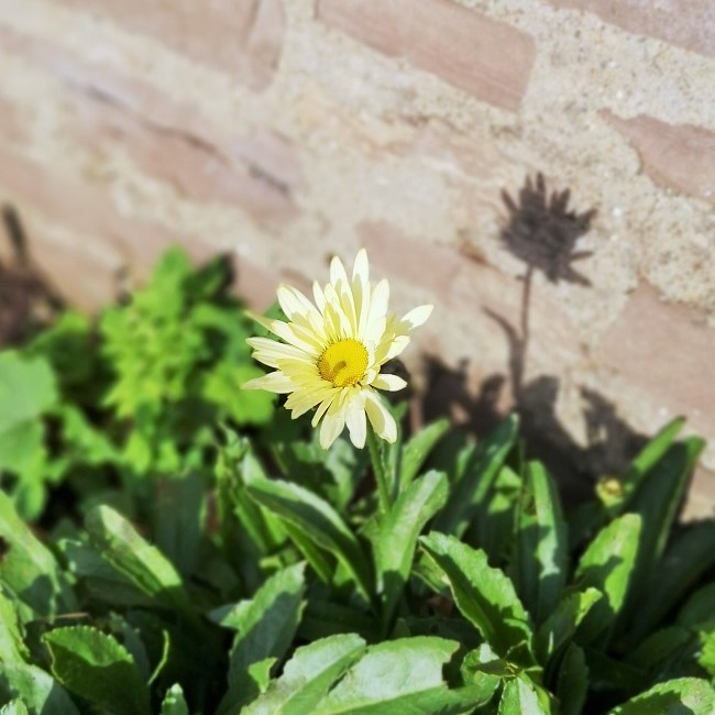 Single_Leucanthemum_bloom