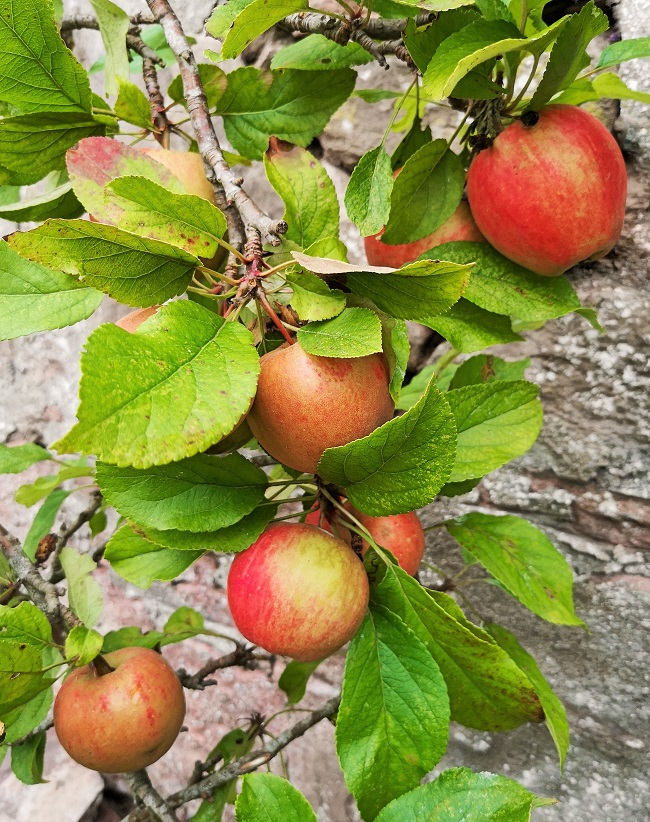 Close-up_of_small_eating_apples_on_a_miniature_tree