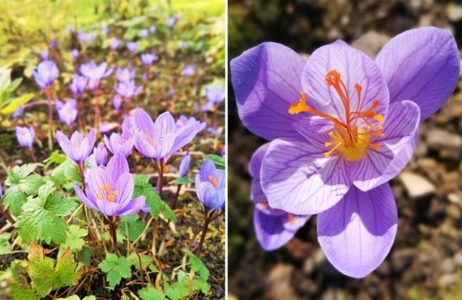 Autumn_saffron_crocus_sativus