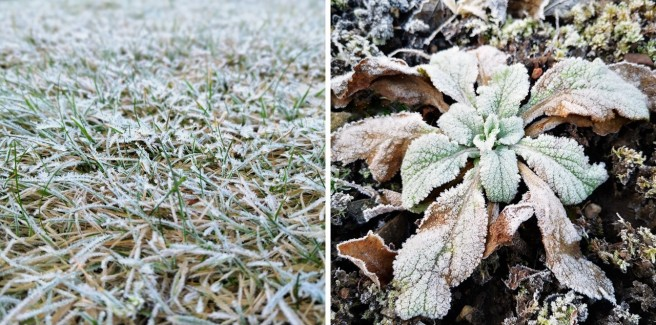 December_frost_on_grass_and_foxglove
