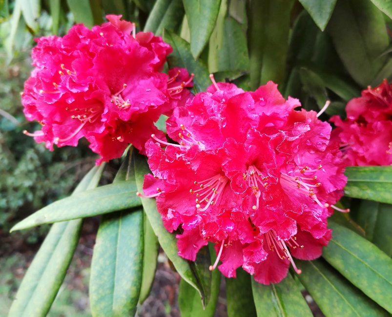 Fuchsia-pink_Winter_blooming_Rhododendron