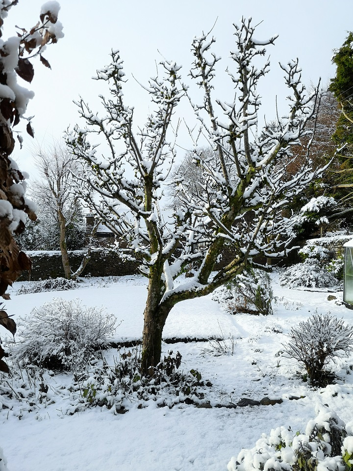 Old_bare_apple_tree_covered_in_snow