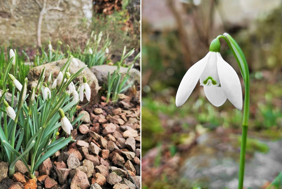Flowering_in_late_January_delicate_snowdrops