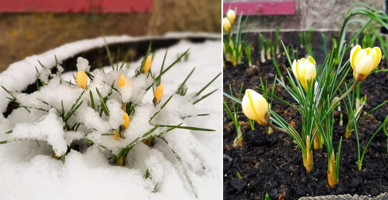 Yellow_crocus_covered_in_snow_in_late_January