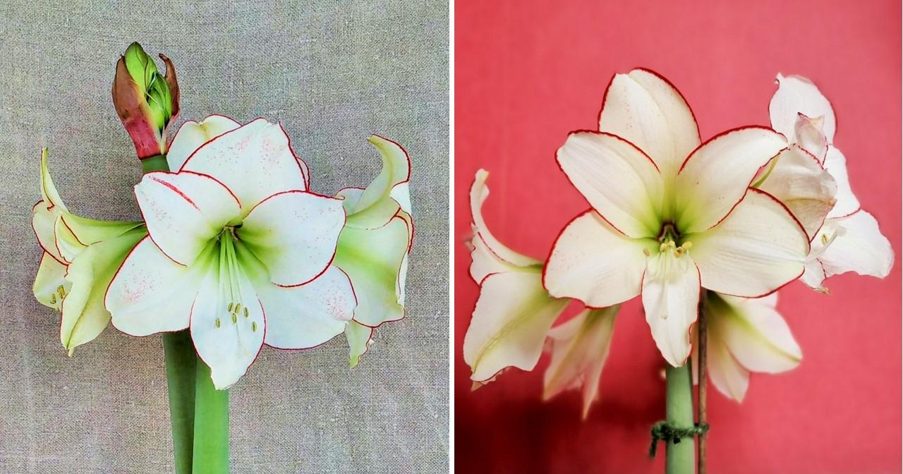 Amaryllis_Picotee_close-up_on_blooms