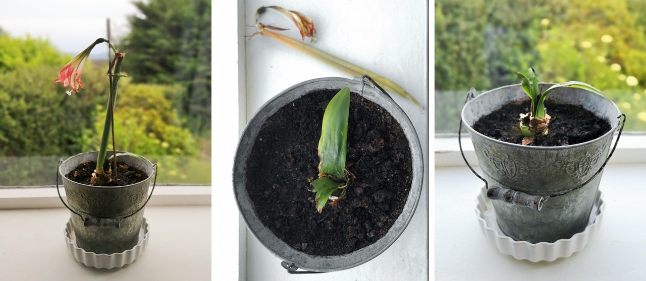 First_steps_to_preparing_an_Amaryllis_bulb_for_keeping