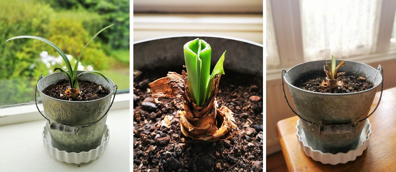 Amaryllis_foliage_and_preparing_the_bulb_for_dormancy