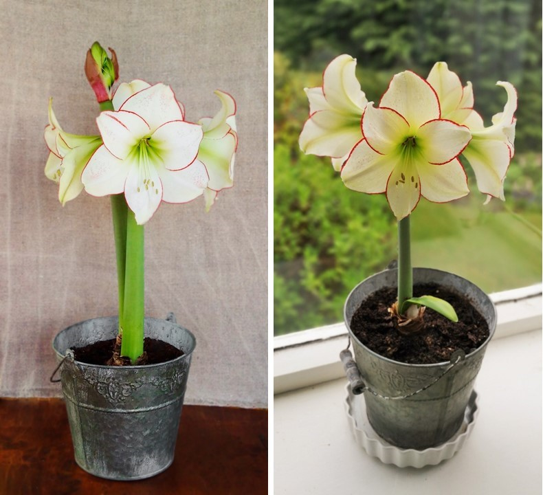 Amaryllis_Picotee_first_year_flowering_and_in_its_second_year