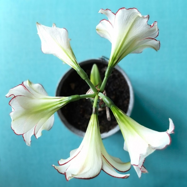 Overhead_view_of_5_Amaryllis_blooms