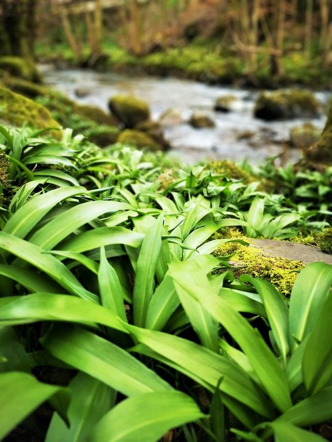 Wild_garlic_spring_2020_River_lednock_Perthshire