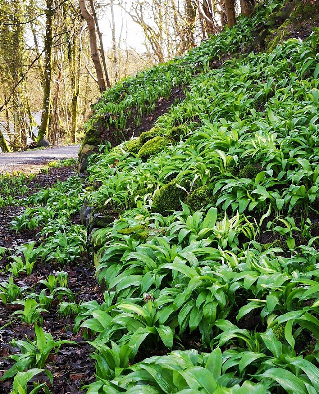Perthshire_riverbank_lined_with_wild_garlic