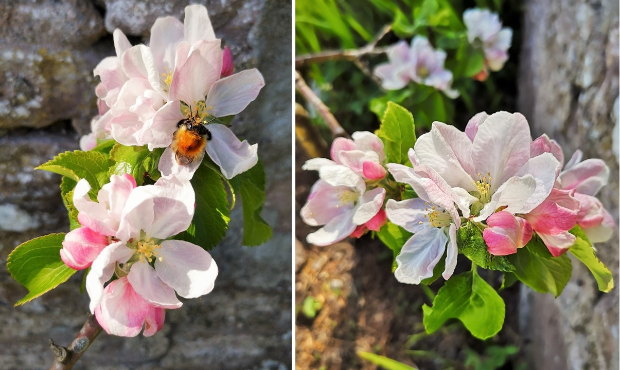 Close-up_on_miniature_apple_tree_blossom_with_bee