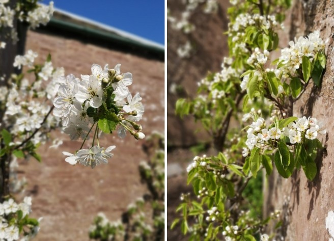Morello_cherry_blossom_and_Conference_pear_blossom