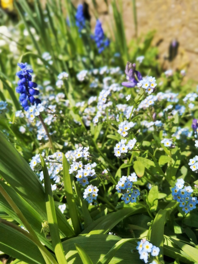 Springtime_Forget-me-nots_in_Scotland