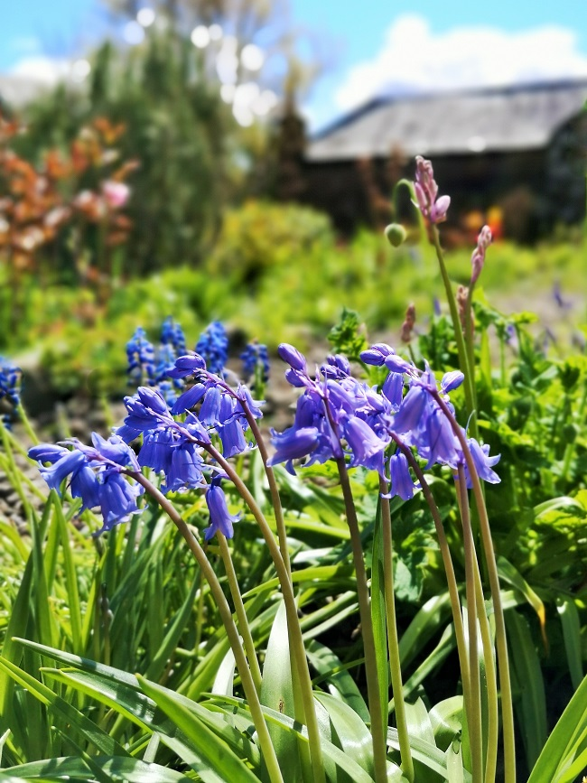 Scottish_garden_bluebells