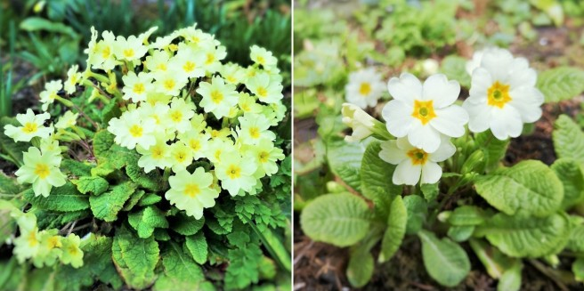 Large_clump_of_yellow_primroses_and_paler_spring_time_primroses