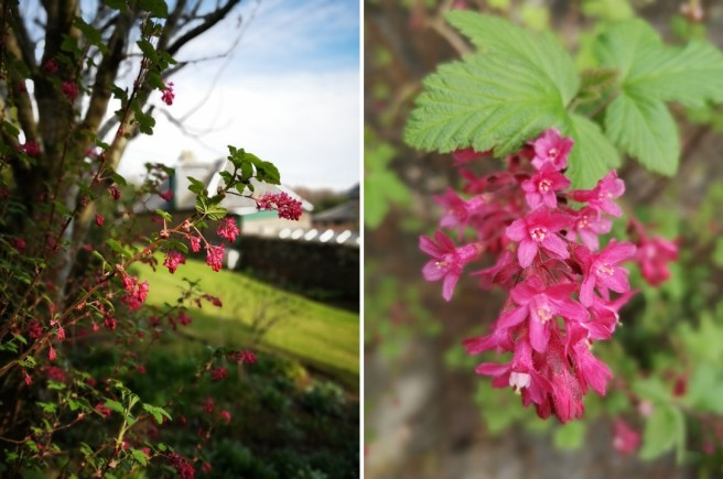 Ribes_sanguineum_or_flowering_currant