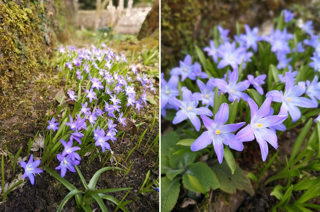 Scilla_flowers_in_a_wooded_shady_area