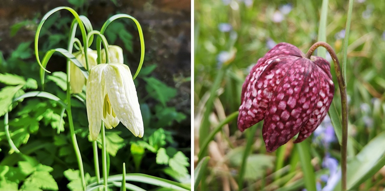 White_and_deep_pink_Snakeshead_Fritillary