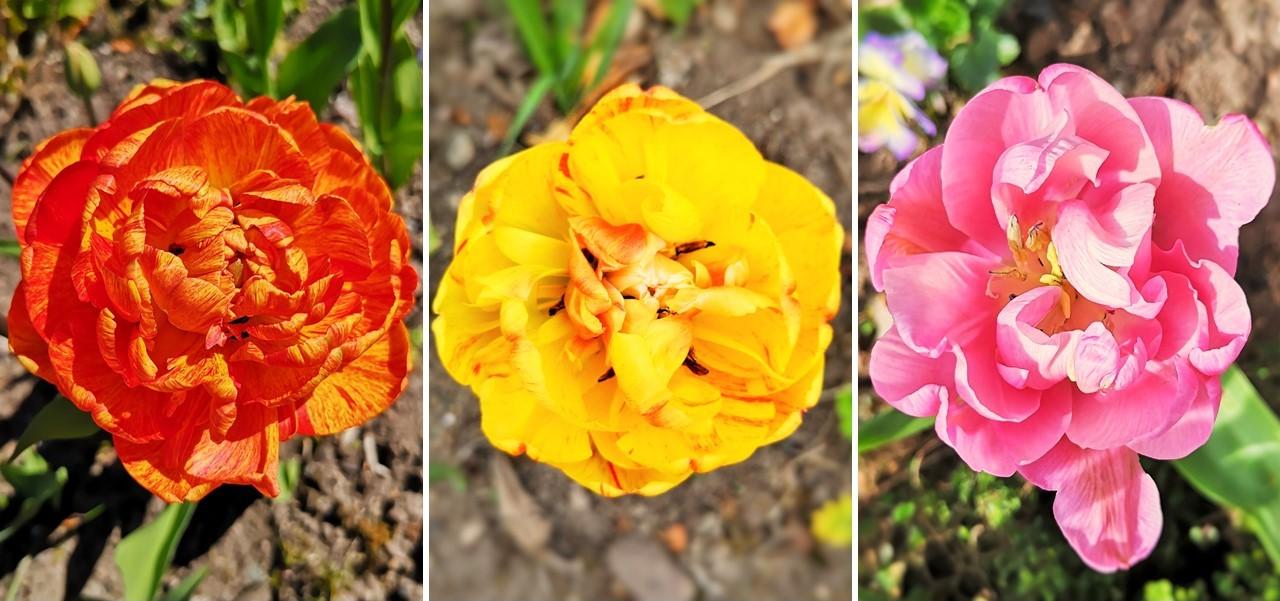 3_multi-petaled_tulips
