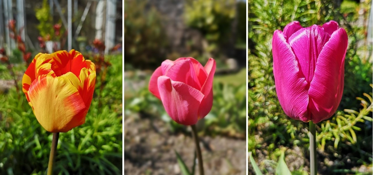 3_classic_tulips_blooming_in_April
