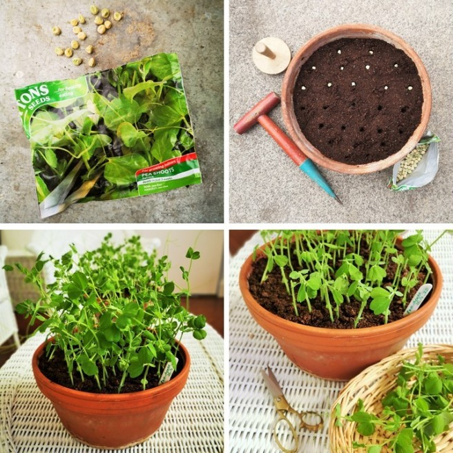 4_steps_to_growing_pea_shoots