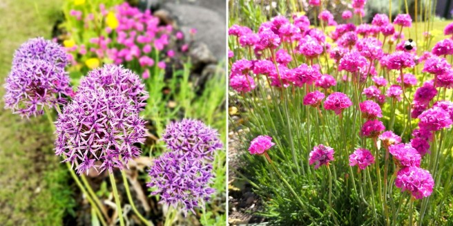Alliums_and_Armeria_(Thrift)