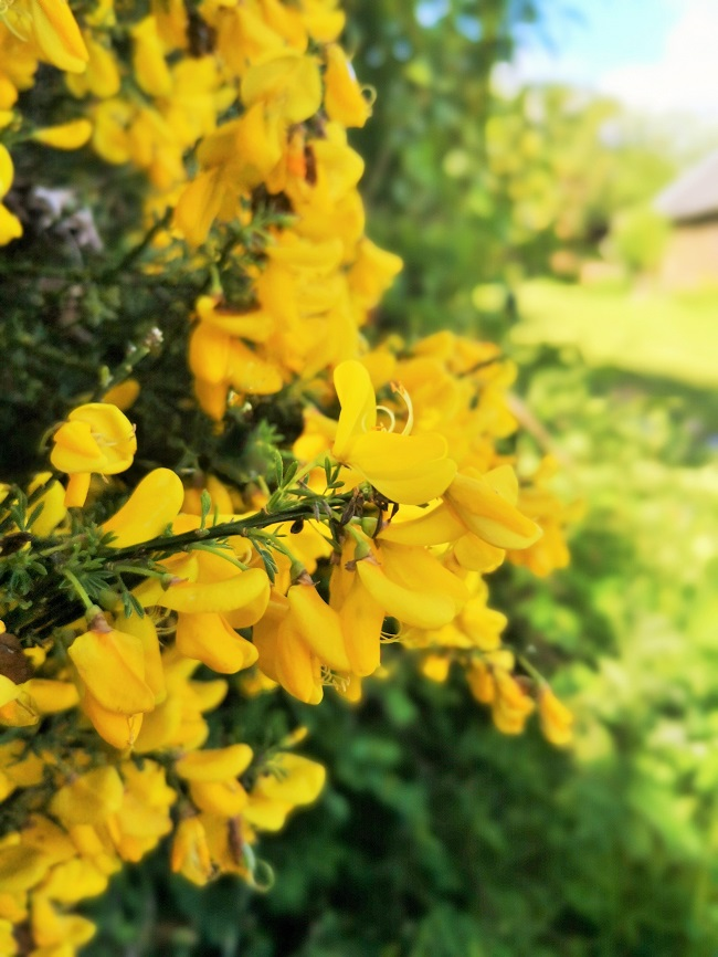 Gorse_bush_laden_with_flowers