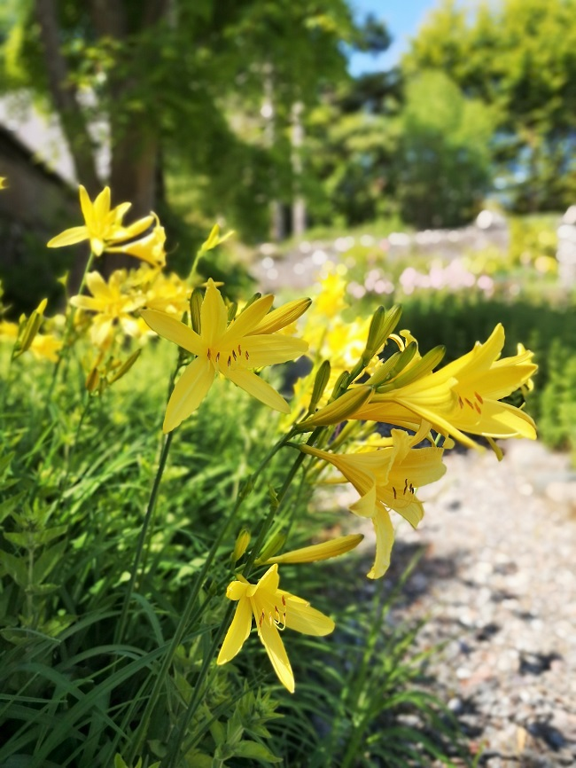 Yellow_Day_Lilies_overhanging_a_gravel_path