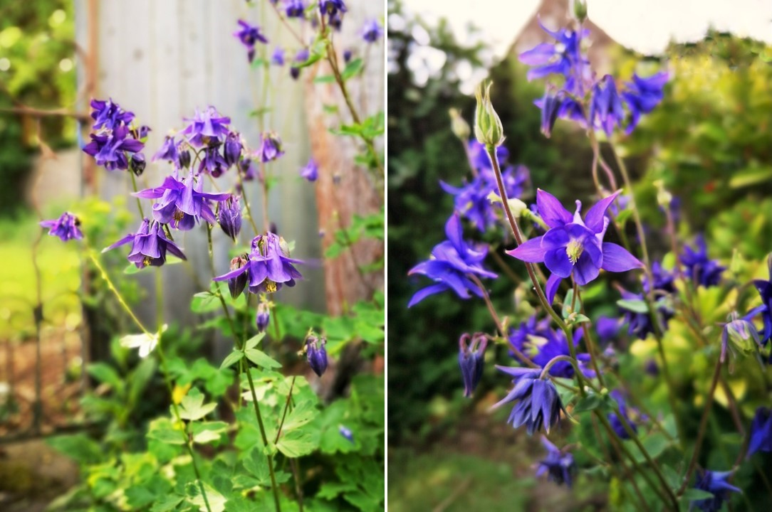 Deep_blue_and_bright_blue_Aquilegia
