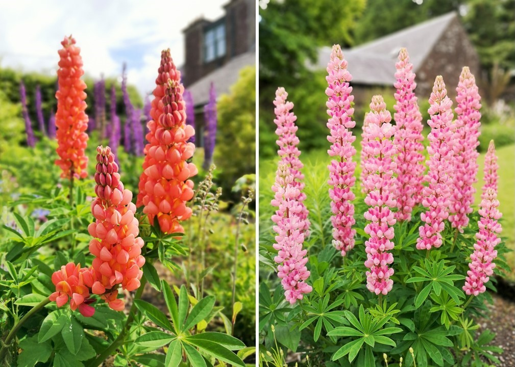 Lupins_in_early_June